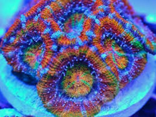 Most Expensive Acan Coral Pic