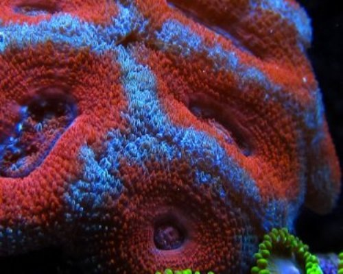 Most Expensive Acan Coral Red and Blue