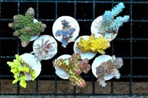 Most Expensive Acropora Shapes
