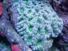 The Most Expensive Acan Coral In The World